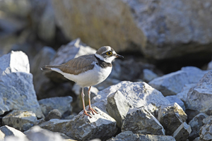 """<div class=""""bildtext_en"""">2 … the little ringed plover like to nest in abandoned quarries</div>"""