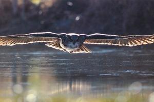 """<div class=""""bildtext_en"""">Eagle Owl in deep flight</div>"""