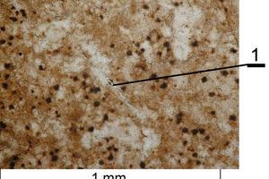 Mikrogefüge des Branntkalks aus dem Devon-Kalkstein mit Makrorissen durch die thermische Zersetzung (1)<br />