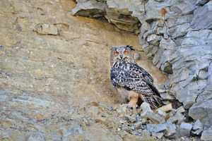 """<div class=""""bildtext_en"""">3 Back in its habitat – the young Eagle Owl</div>"""
