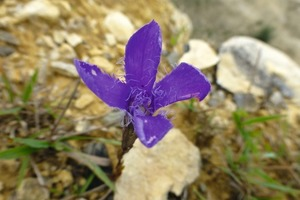 """<div class=""""bildtext_en"""">4 Gentianella germanica is known in English as the """"Chiltern Gentian"""" </div>"""